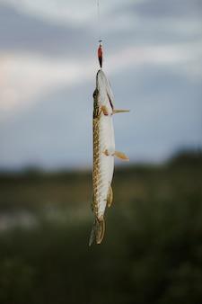 Poisson brochet suspendu à un leurre de pêche contre l'arrière-plan flou