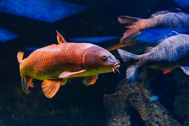 Poisson carpe cyprinus nage sous l'eau bleue