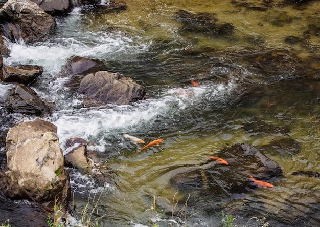 Poisson carpe nageant en amont dans un ruisseau au japon.
