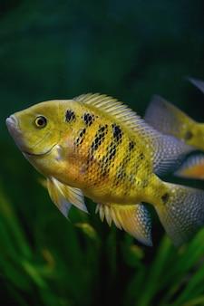 Poisson cichlasoma bocourti dans l'aquarium (neetroplus bocourti, herichthys bocourti). verticale