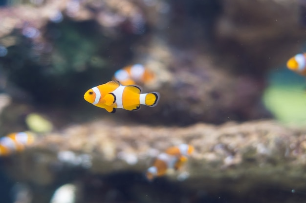 Un poisson-clown dans l'aquarium de récifs coralliens d'eau salée.