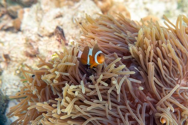 Poisson clown nageant dans la barrière de corail