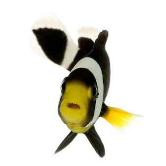Poisson clown saddleback - amphiprion polymnus sur blanc