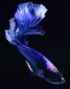 Poisson de combat bleu.