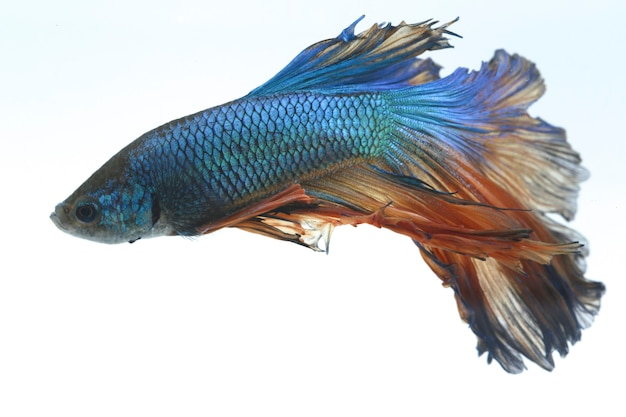 Poisson de combat halfmoon betta blue