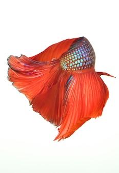 Poisson de combat rouge siamois, poisson betta isolé sur fond blanc.