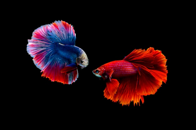 Poisson de combat siamois (betta splendens)