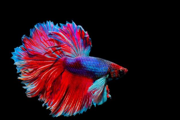 Poisson de combat siamois multicolore