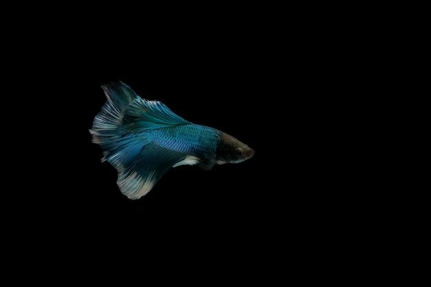 Poisson de combat siamois et poisson betta rouge isolé sur fond noir.