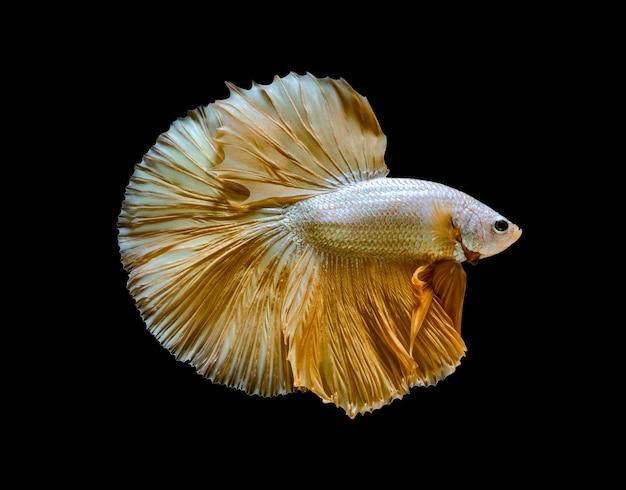 Poisson de combat siamois ou poisson betta splendens, poisson d'aquarium populaire en thaïlande. demi-lune jaune queue betta lutte contre le mouvement de poisson isolé sur fond noir