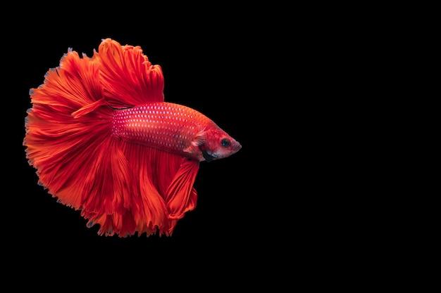 Poisson de combat siamois rouge