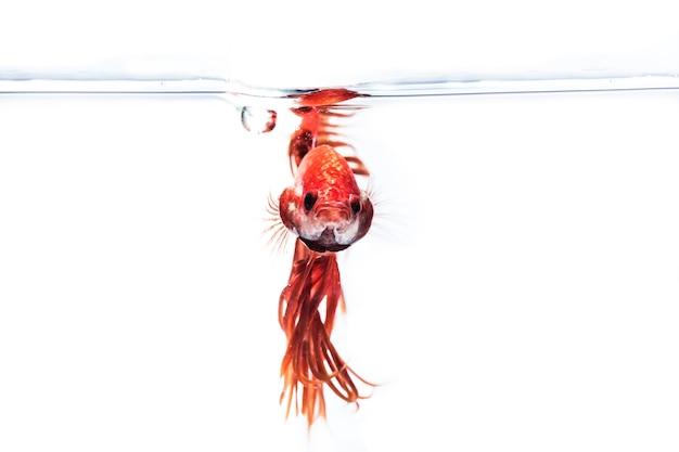 Poisson combattant (betta splendens) poisson avec une belle