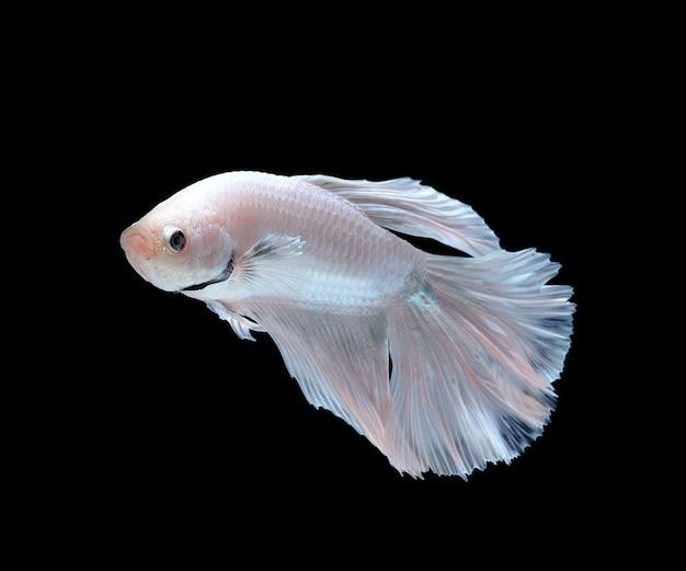 Poisson combattant siamois blanc, poisson betta isolé sur fond blanc