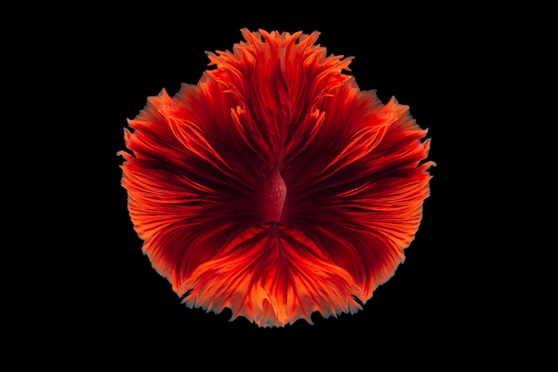 Poisson combattant siamois rouge recueilli un fantasme