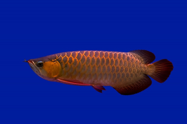 Poisson dragon arowana