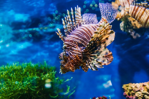 Poisson exotique tropical poisson-lion rouge pterois volitans nage dans un aquarium