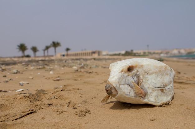 Poisson fugu blanc mort sur le sable.