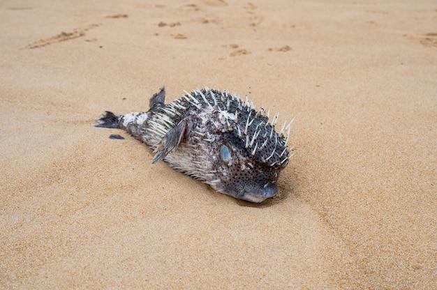 Poisson-globe avec épine gonflée échouée gisant mort sur la plage