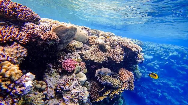 Le poisson-globe gris dangereux se cache dans les coraux au fond de la mer rouge