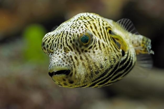 Un poisson-globe en gros plan dans un réservoir