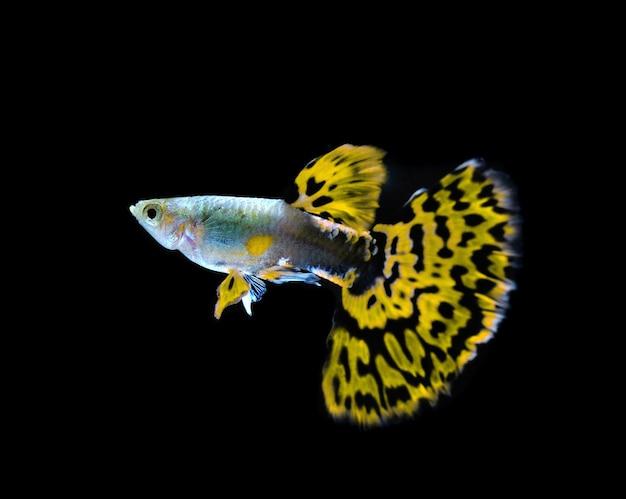 Poisson guppy jaune nageant isolé sur fond noir