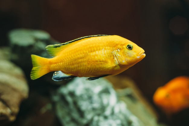Poisson jaune d'aquarium
