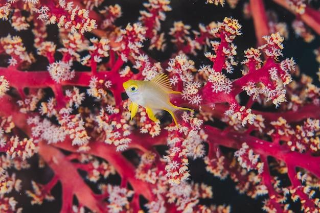 Poisson jaune sur un récif unique rose
