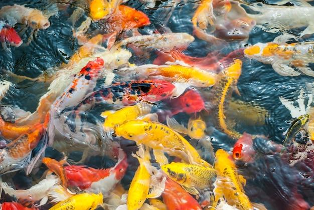 Poisson koi sur l'eau