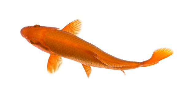 Poisson koi orange, cyprinus carpio, sur blanc isolé