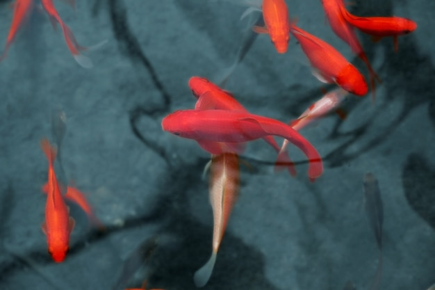 Poisson koi rouge japonais dans un étang