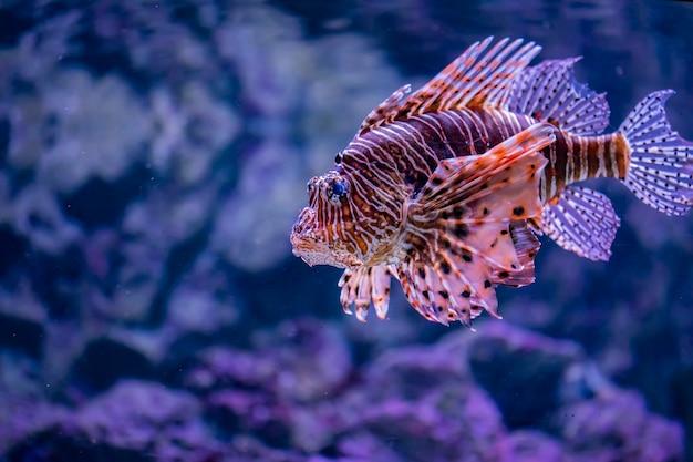 Poisson-lion dans l'eau