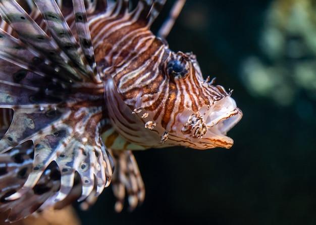 Poisson lion fermé plan sur le visage du poisson