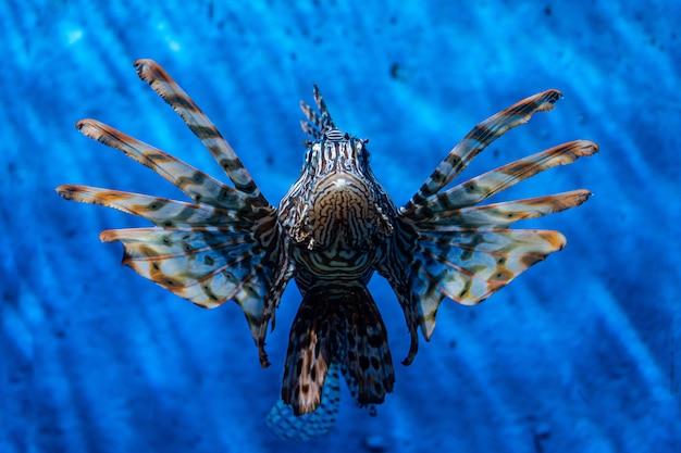Poisson lion, lionfish warrior, fish zebra.