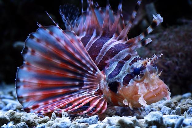 Poisson-lion sur les récifs coralliens