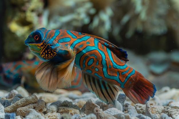 Poisson mandarin avec corail
