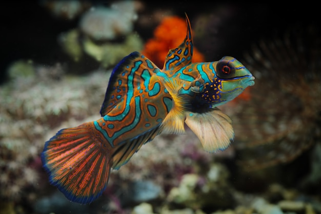 Poisson-mandarin Ou Dragonet Mandarin Photo Premium