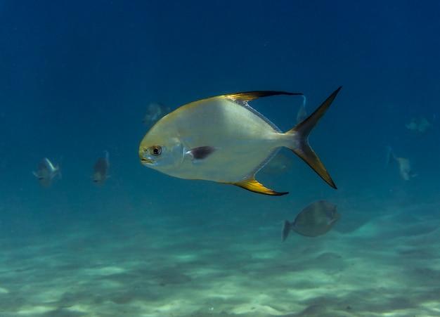 Poisson de mer pompano trachinotus blochii dans la mer