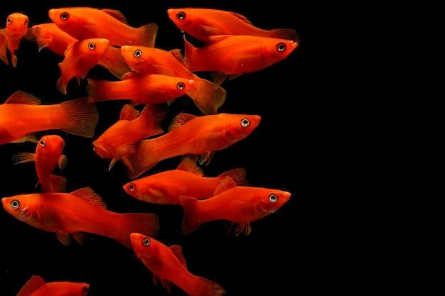 Poisson de molly (poecilia latipinna) poisson d'aquarium