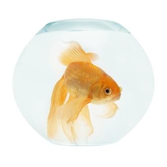 Un poisson d'or dans l'aquarium isolé sur blanc.
