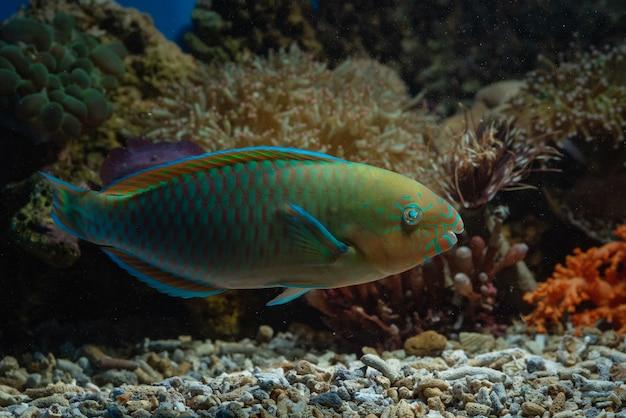 Poisson perroquet dans les récifs coralliens