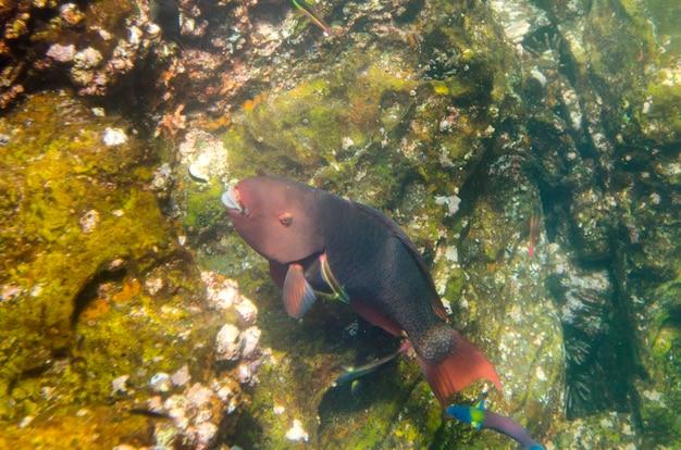 Poisson-perroquet nageant sous l'eau, baie de darwin, île genovesa, îles galapagos, équateur