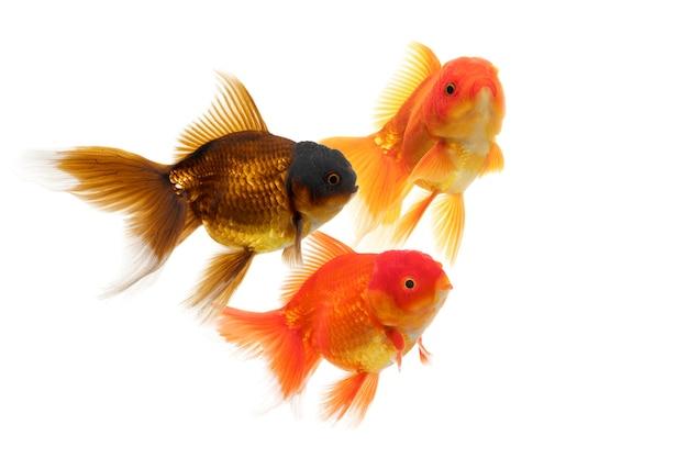 Poisson rouge coloré nageant sur fond blanc avec un chemin de détourage goldfish oranda