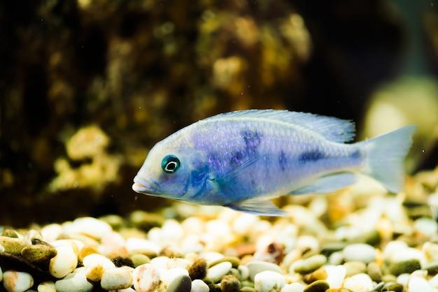 Poisson sciaenochromis fryeri de couleur bleue avec des taches noires flotte dans un aquarium. mbuna dans un aquarium. cichlidés
