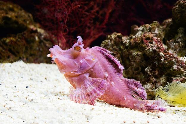 Poisson-scorpion aquatique aquarium sous-marin