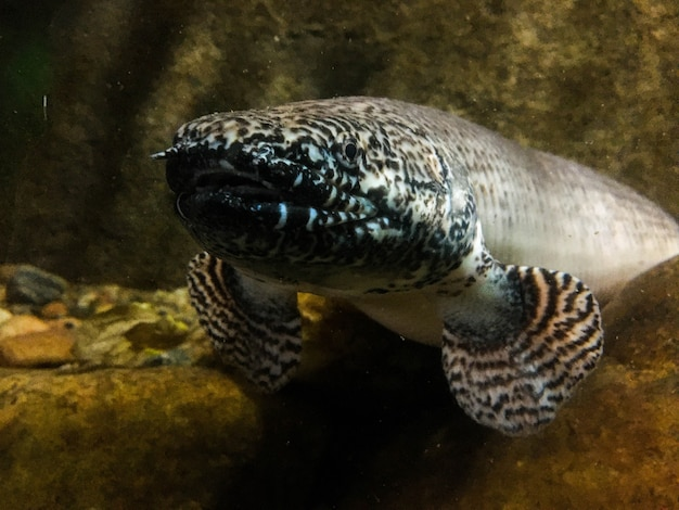 Un poisson serpent dans un aquarium du zoo