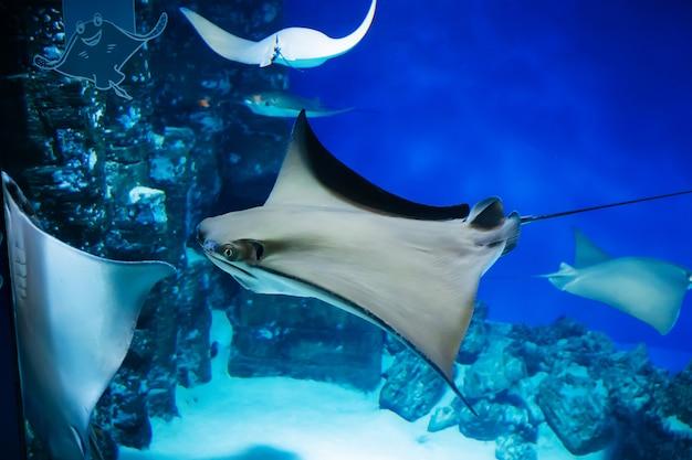 Le poisson stingray nage lentement dans un aquarium en verre