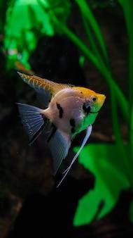 Poisson tacheté dans l'aquarium, gros plan de poissons d'aquarium, poisson triangulaire