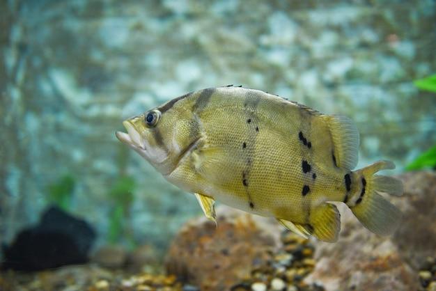 Poisson tigre siamois dans un aquarium à l'aquarium - poisson tigre