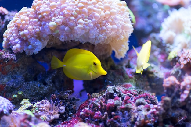 Le poisson zebrasoma jaune nage et se cache dans les polypes de corail rose