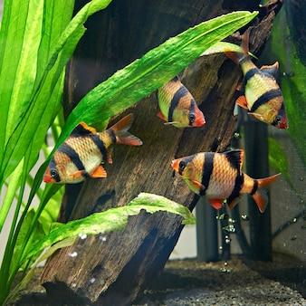 Poissons d'aquarium - barbus puntius tétrazona dans l'aquarium